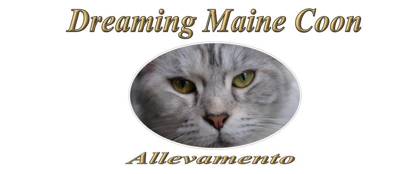 Allevamento Dreaming Maine Coon Vendita Cuccioli Di Maine Coon